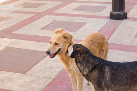dogs playing: Dos perros egipcios jugando en la acera Foto de archivo