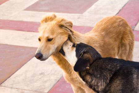 perros jugando: Dos perros egipcios jugando en la acera Foto de archivo
