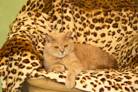 paw smart: Irish Red cat resting on a leopard print rug