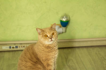 paw smart: Irish Red cat sitting on the floor against a wall and looking at the host
