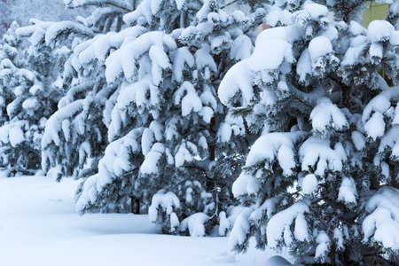 caved: The spruce branches are caved in under a thick layer of fluffy snow Stock Photo