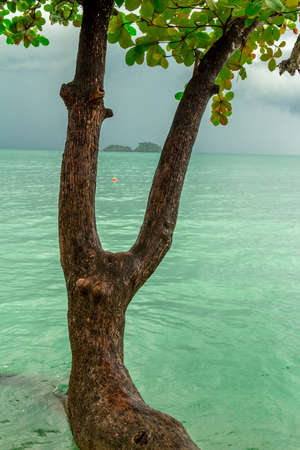 on forked: Forked tree is growing on the seashore Stock Photo