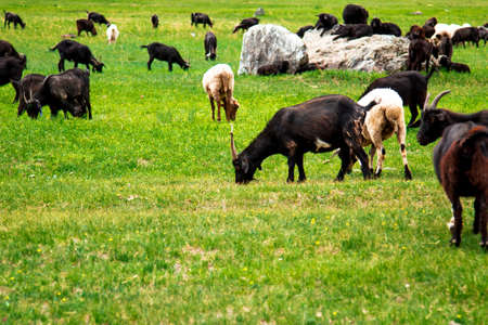 open spaces: Pets are grazing in the vast open spaces of the Altai Stock Photo