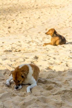 Dog lying on the sand on the beach of Karon in Phuket Thailand Stock Photo