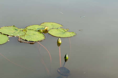 Two green buds have not yet blossomed lilies, on the surface of the lake