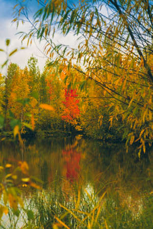 The forest lake overgrown with grass, small deciduous forest and shrubs in yellow-red autumn colors Reklamní fotografie