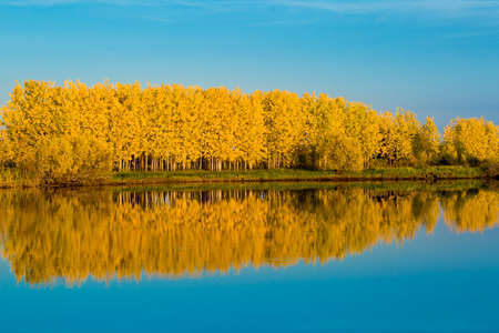 Autumn deciduous forest in bright yellow tones and a gently blue sky reflects on the water surface