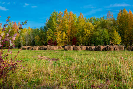 Round bales of hay on a scooped meadow against a blue sky and trees with yellowed foliage