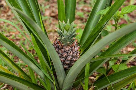 Pineapple growing on pineapple plant. Reklamní fotografie