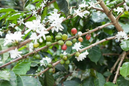 Flowered coffee plant with many coffee beans.