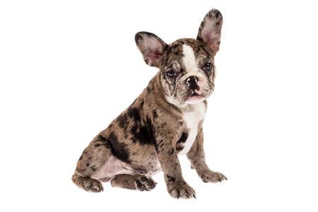 Tender mascot - french bulldog merle baby, photo on white background. Imagens