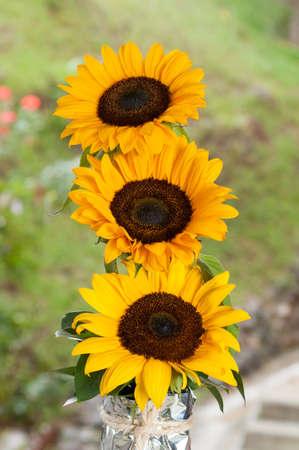 Helianthus Annuus - Beautiful Common Sunflower Flower.