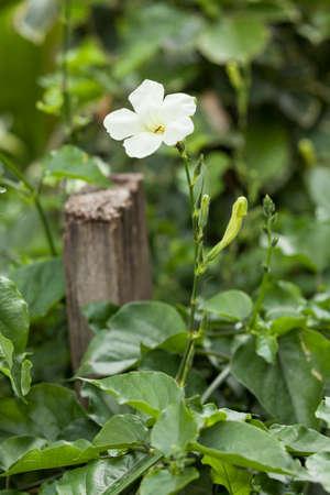 Gazania splendens or Gazania; Beautiful Garden Flower.