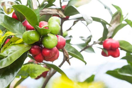 Acotope, (Thevetia ahouai); Tree Of The Family Apocynaceae. Imagens