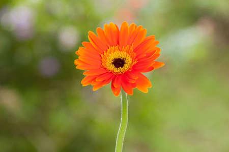 Orange Gerbera; Beautiful ornamental flower. Imagens