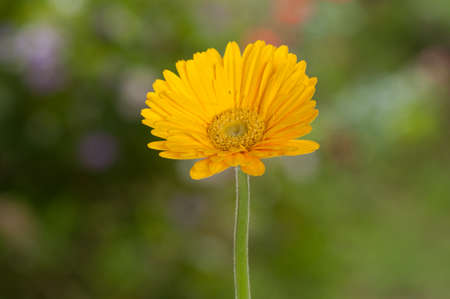 Yellow Gerbera; Beautiful Ornamental Flower.