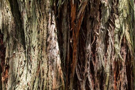 Nature; Natural texture of eucalyptus tree trunk.