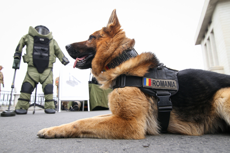 German shepherd army dog trained to detect explosives, together with his trainer from the Romanian military
