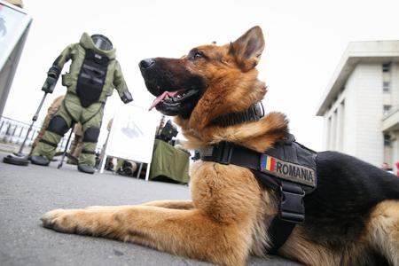 Chien de l'armée de berger allemand formé pour détecter les explosifs, avec son entraîneur de l'armée roumaine