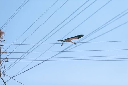 Stork flying above electricity wires in a rural area of Romania. Wild animals living between humans.