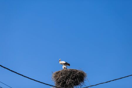 Family of storks living on a nest they made on top of an electricity pole in a rural area of Romania. Wild animals living between humans.