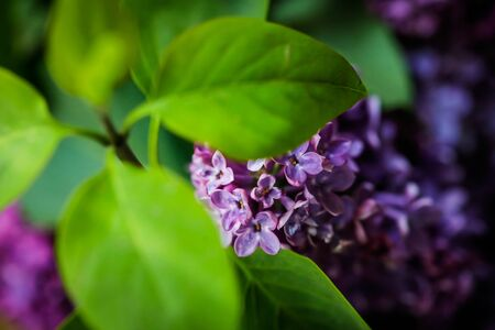 Shallow depth of field (selective focus) and macro image with purple lilac flowers. Standard-Bild