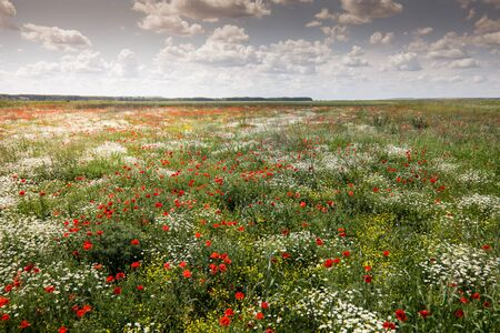 Red poppies in a green field with wild flowers during a sunny summer day. Banque d'images