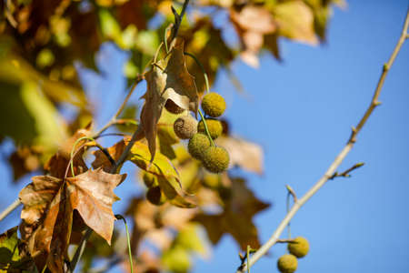 Details with autumn maple leaves and fruits under the light of a November day sun. 免版税图像