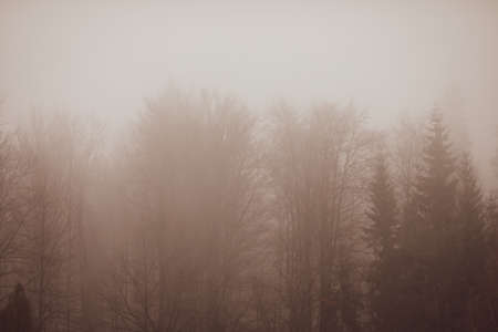 Mist and sleet storm over a cone tree forest in the Romanian Carpathian mountains during a cloudy and cold winter day.