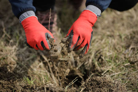 Details with the hands of a man in protective gloves planting a tree.