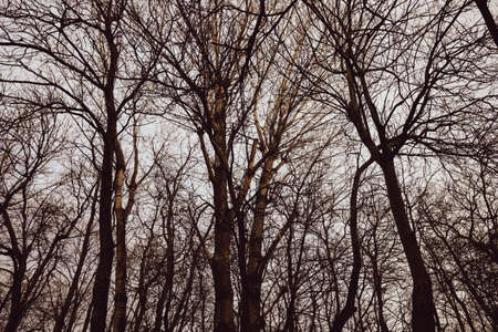Silhouettes of dry trees in a forest during a spring evening.