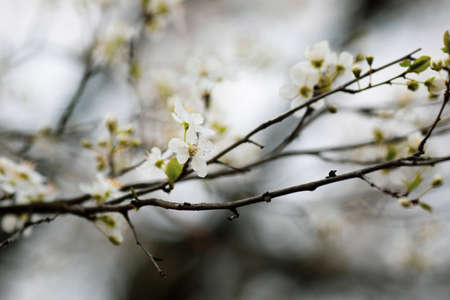 Shallow depth of field (selective focus) image with an apple tree flowers in bloom during a spring evening.