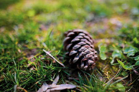 Shallow depth of field (selective focus) image with a pine cone on the grass in a forest. Standard-Bild