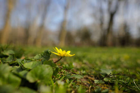 Shallow depth of field (selective focus) image with a small yellow spring flower in the grass in a forest.