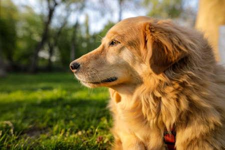 Portrait of an old golden retriever female dog. Standard-Bild