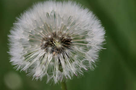Shallow depth of field (selective focus) and macro footage with a tick on a dandelion.