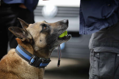 Details with the interaction between a Belgian Malinois trained dog and his owner. Standard-Bild