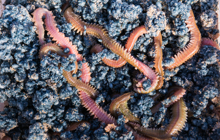earthworm: A box with alive worms bait for sea fishing. Stock Photo