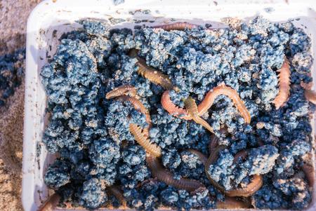 lombriz de tierra: Una caja con gusanos vivos cebo para la pesca de mar.