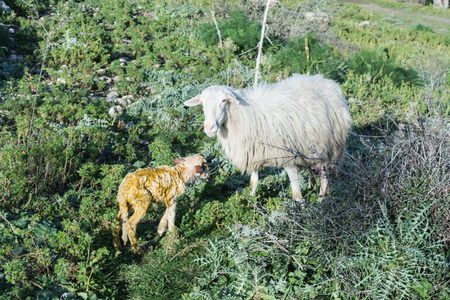 naivety: Sheep with newborn lamb, graze. The mother takes care of the baby, concept for all animals in the wild.