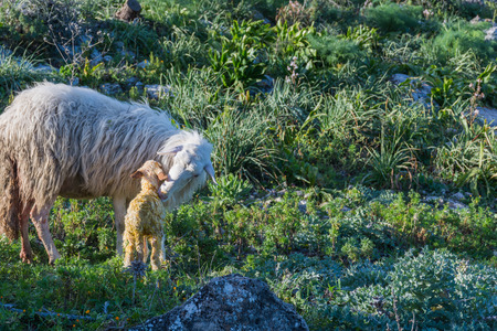 bleating: Sheep with newborn lamb, graze. The mother takes care of the baby, concept for all animals in the wild.