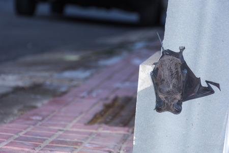 Abstract and conceptual sleeping, bat sleeping on the wall of a palace in the city. Insectivores, feeding on insects.