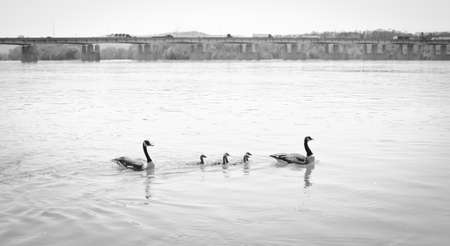 upstream: geese family swimming upstream