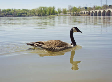 upstream: geese swimming upstream