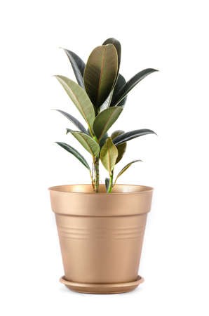 pipal: pipal in a pot green Stock Photo