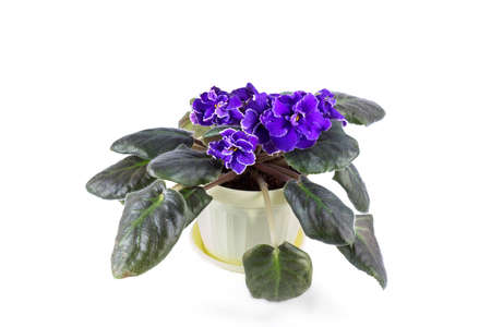 Purple African Violets on a white background.