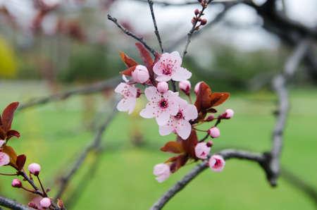 Blooming sakura photo