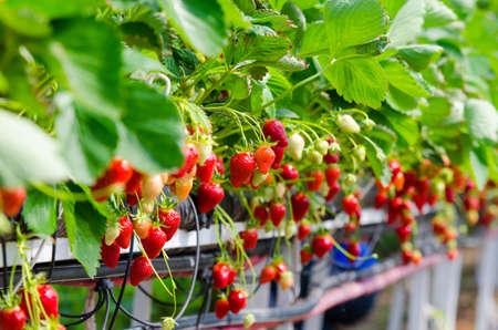 Strawberries being grown