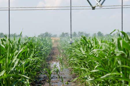 irrigation equipment: Irrigation equipment watering a crop of corn.