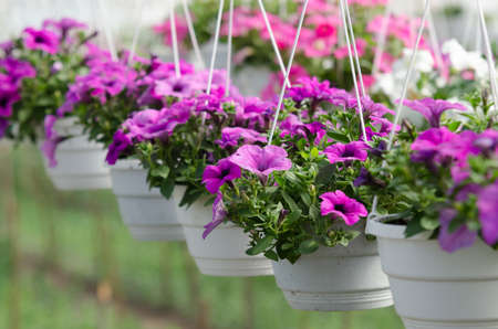 surfinias in hanging baskets in greenhouse Zdjęcie Seryjne - 80025664